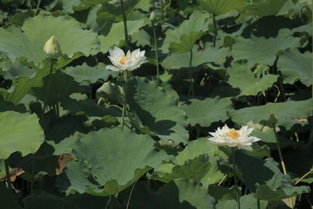nymphaeaceae: Moat of lotus flowers
