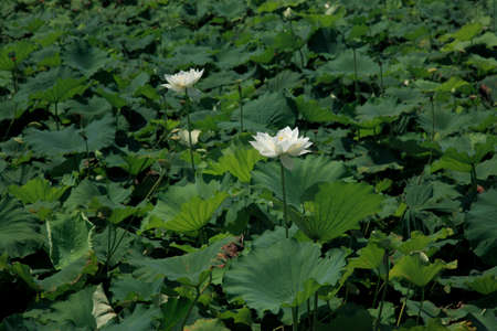 moat: Moat of lotus flowers