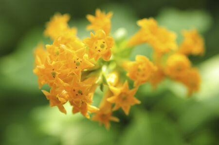 tier: Kesutorumu A uranium tier Kum flowers