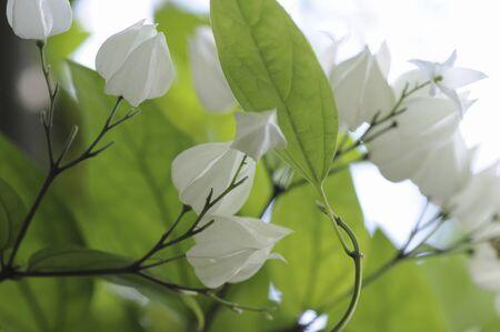 벤케이 Clerodendrum의 trichotomum 꽃
