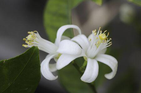 citrus aurantium: Citrus flowers
