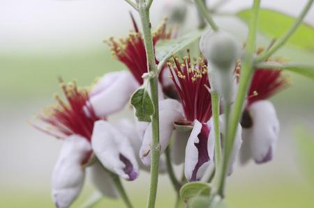 feijoa: Feijoa flowers Stock Photo