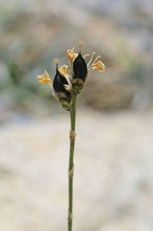 dyckia: Flowers Stock Photo