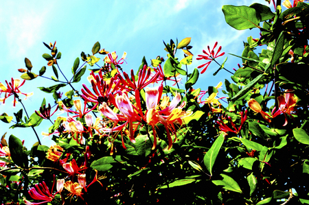 lonicerae: Flower art