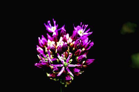 allium: Flower Art Allium Aerureumu