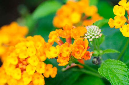lantana: Blooms in tropical America orange Lantana Camara flowers