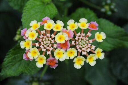 lantana camara: Blooms in tropical America Lantana Camara flowers Stock Photo
