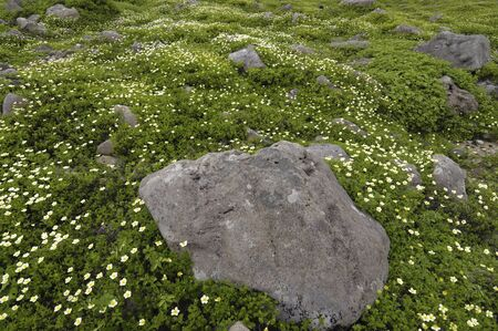 waterweed: Geum pentapetalum
