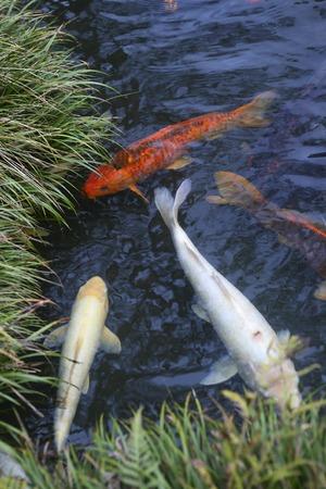 pez carpa: CARP Foto de archivo