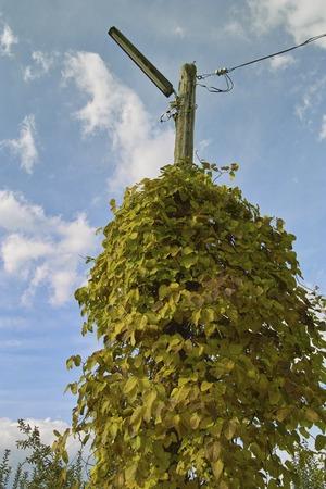 streetlights: Climbing plants that entwined in streetlights
