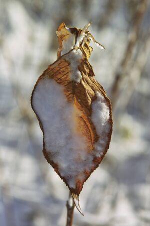 dead leaves: La nieve en las hojas muertas Foto de archivo