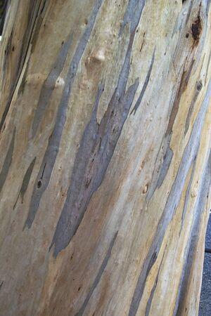 eucalyptus tree: Eucalyptus tree