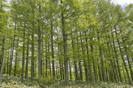 Forêt de mélèze