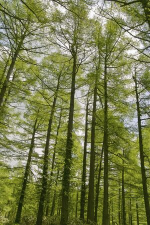 larch: Larch forest