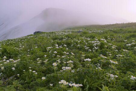 hakusan: Anemone narcissiflora