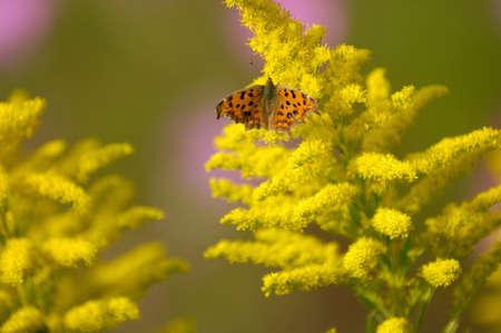 goldenrod: Key Nymphalidae Stock Photo