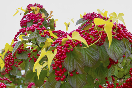 viburnum: Yam and Viburnum Stock Photo