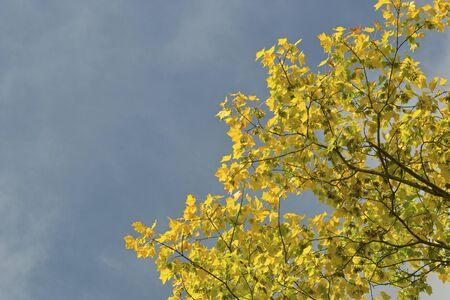 betula: Autumn leaves of Betula ermanii