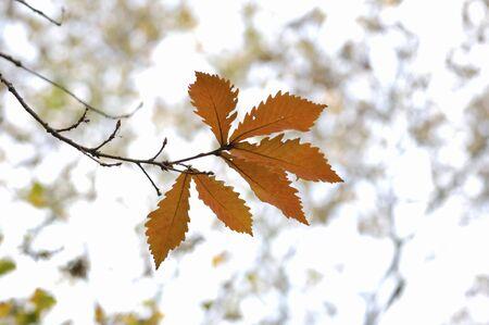 quercus: Quercus serrata