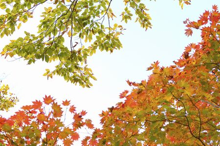 maple leaves: Maple leaves