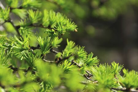 larch: Larch sprout
