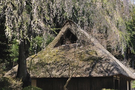 thatched: Sakura and thatched
