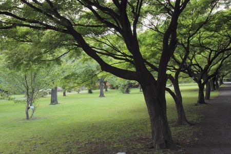 acer palmatum: Namiki of Acer palmatum Stock Photo