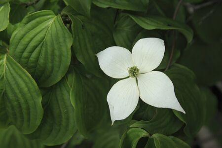 bracts: Dogwood Stock Photo