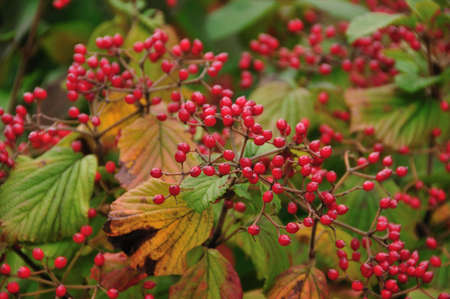 viburnum: Viburnum fruit Stock Photo