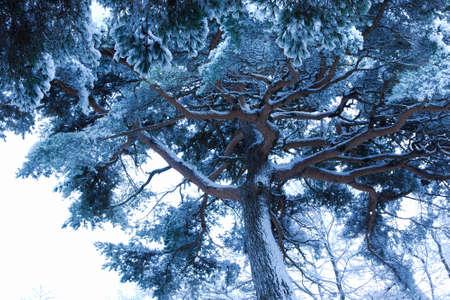 rime: Pine rime