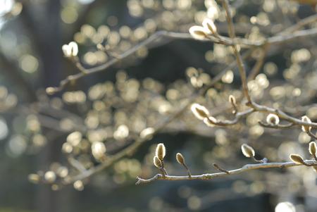 Bloem kiem van Magnolia stellata Stockfoto