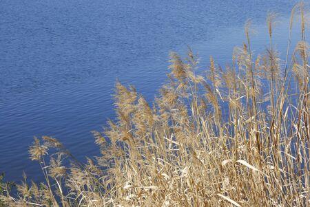 canne: Ance e il lago Archivio Fotografico