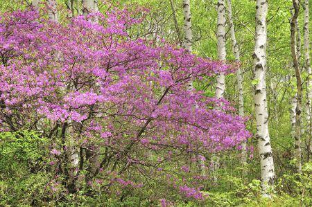 plateau of flowers: Leptecophylla juniperina