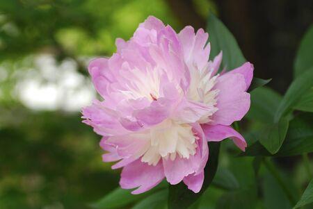 paeonia: Paeonia lactiflora Stock Photo
