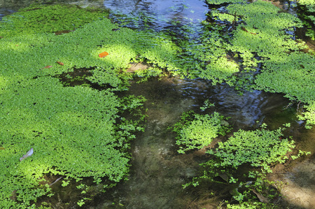 waterweed: Fuji spring water