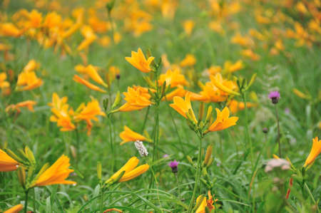 plateau of flowers: Hemerocallis middendorffii. Stock Photo