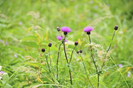 plateau of flowers: Thistle