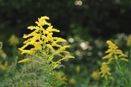 goldenrod: Solidago altissima l.