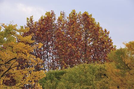 sycamore leaf: Autumn leaves