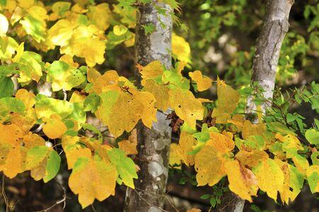 yellow: Yellow leaves.