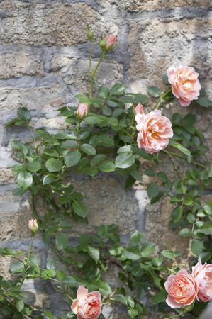 つるバラとレンガの壁