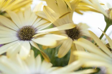 african daisy: African daisy Stock Photo