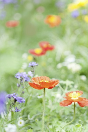 turf flowers: Poppy and herbs blooming garden