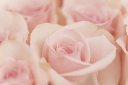 Pink Roses Archivio Fotografico