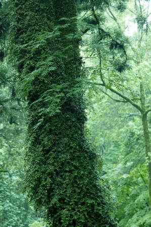 cedro: Cedar edad