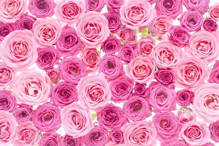 Pink Roses Banque d'images