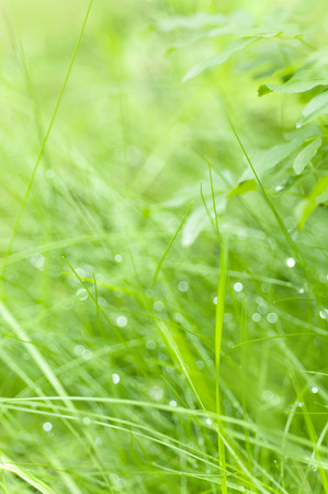 morning dew: Grass wet with morning dew Stock Photo