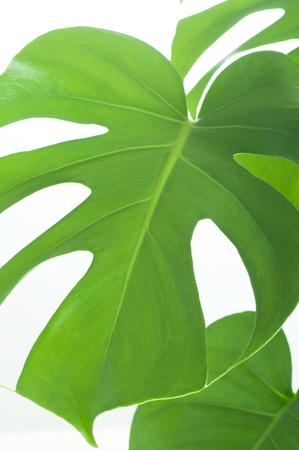 monstera leaf: Monstera leaf