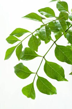 japonica: Fraxinus japonica Stock Photo