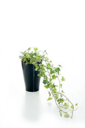 long: Long Ivy Stock Photo